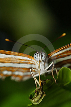 Neptis Hylas Papaja Royalty Free Stock Images - Image: 8561989