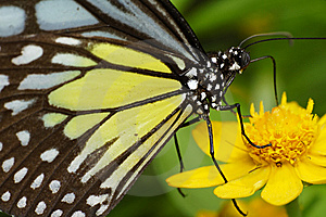 Butterly Feeding On A Flower Royalty Free Stock Photos - Image: 8562018