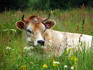 A Cow Stock Images - Image: 8562714