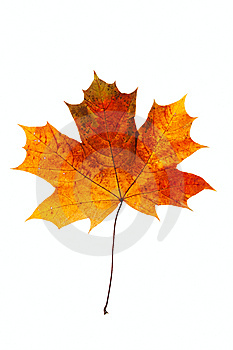 Maple Leaf Stock Photo - Image: 8563990