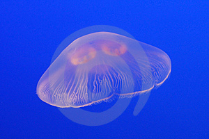 Purple Jellyfish In The Water Royalty Free Stock Photos - Image: 8564038