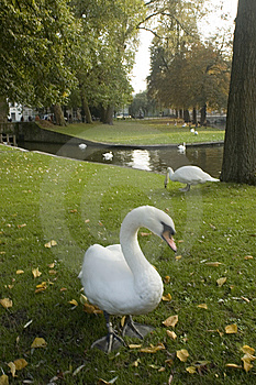 Brugge Swan Stock Photography - Image: 8564582