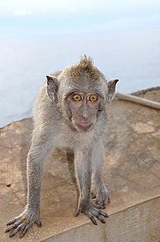 Baby Monkey Royalty Free Stock Images - Image: 8564659