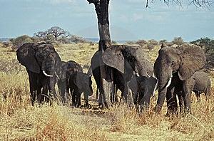 Elephants Herd,Tarangire NP,Tanzania Stock Image - Image: 8566131