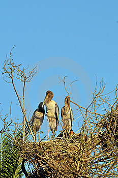 Stork Family Royalty Free Stock Image - Image: 8566266
