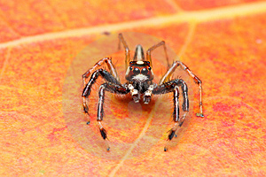 Spider (Epeus Alboguttatus) Stock Photo - Image: 8568040