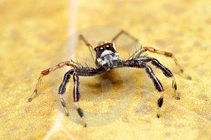 Spider (Epeus Alboguttatus) Royalty Free Stock Photo - Image: 8568185