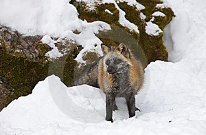 Cross Fox Standing In Snow Royalty Free Stock Photography - Image: 8568967