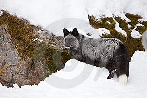 Silver Fox Looking In Snow For Food Royalty Free Stock Image - Image: 8569076