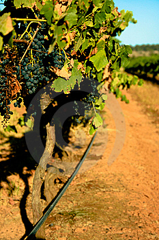 Down The Vines Stock Images - Image: 8570834