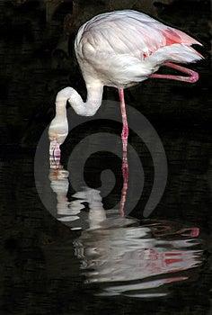 Flamingo Reflections Stock Photo - Image: 8571010
