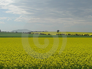 Green And Gold Fields Royalty Free Stock Photo - Image: 8571445