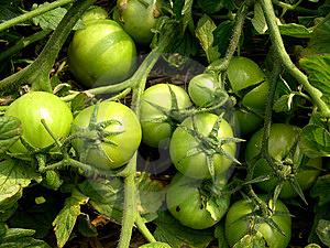Organic Green Tomatoes Royalty Free Stock Photography - Image: 8572127