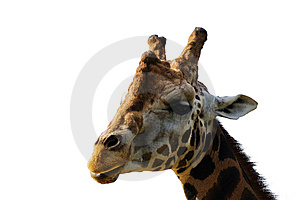 Isolated Giraffiish Head Stock Images - Image: 8573004