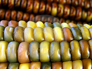 Colorful Corn Royalty Free Stock Images - Image: 8573019