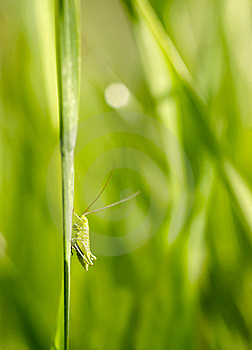 Grasshopper Royalty Free Stock Photos - Image: 8574118