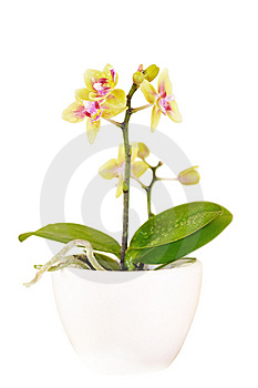 Decorative Orchid On White Royalty Free Stock Image - Image: 8574396