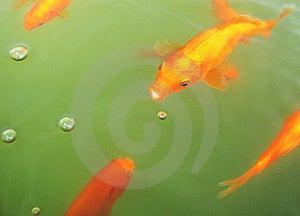 Goldfish Bubbles Stock Photos - Image: 8576083