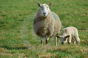 Mother Sheep And Spring Lamb Stock Photo - Image: 8576140
