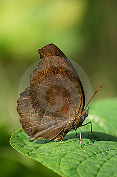 Butterfly On Green Leaves Closeup Royalty Free Stock Photos - Image: 8576228