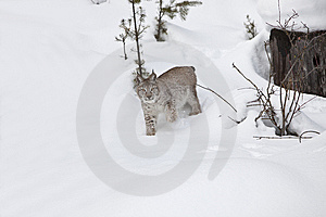 Siberian Lynx In Snow Stock Photos - Image: 8577093
