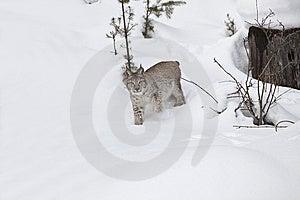 Lince Siberian Na Neve Fotos de Stock - Imagem: 8577093