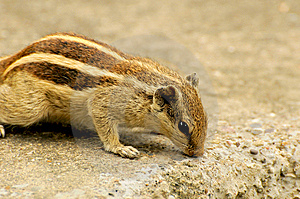 Squirrel Royalty Free Stock Image - Image: 8577156