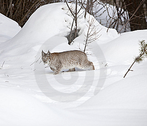 Siberian Lynx Walking Slowly In Snow Royalty Free Stock Image - Image: 8577956
