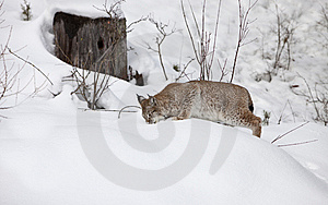 Siberian Lynx Hunting For Food Stock Photography - Image: 8578012