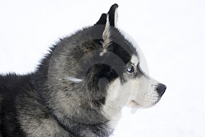 Huskie Royalty Free Stock Photos - Image: 8578158