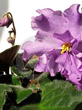 Violet Stock Photo - Image: 8578700