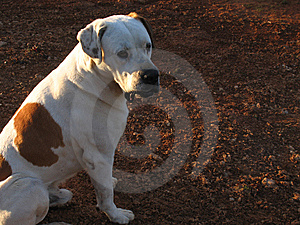 Big Dog Stock Photo - Image: 8579050