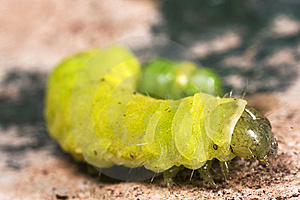 Caterpillar Macro Close Up Stock Photo - Image: 8579720