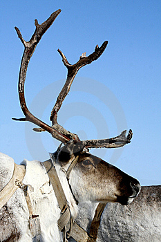 Reindeer Royalty Free Stock Images - Image: 8583679