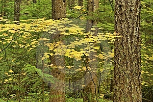 Vine Maple Forest Stock Photos - Image: 8583733