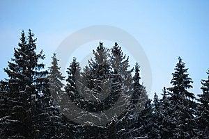 Conifers On Dusk Stock Photos - Image: 8584103