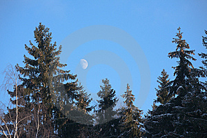 Conifers On Moonrise Royalty Free Stock Photography - Image: 8584117