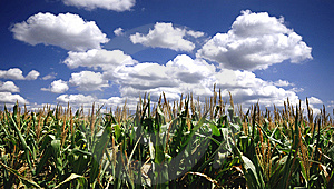 Corn Field Royalty Free Stock Photos - Image: 8584898