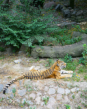 Wild Tiger Stock Images - Image: 8585014