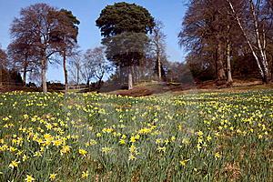 Flowering Daffodil Meadow Royalty Free Stock Image - Image: 8588976