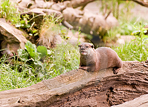 Asian Otter Stock Photos - Image: 8589033