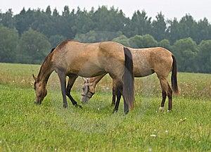 Pasturing Horses Royalty Free Stock Image - Image: 8589486