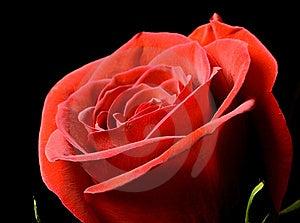 Rose Close-up Stock Photo - Image: 8590310