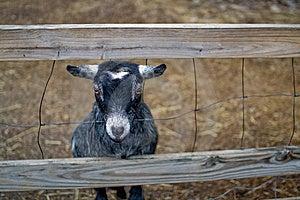 Baby Goat Royalty Free Stock Image - Image: 8590446