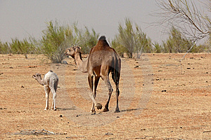 Camels In Hte Desert Stock Photography - Image: 8591002