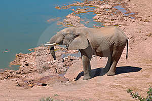 Elephant (Loxodonta Africana) Stock Photo - Image: 8592620