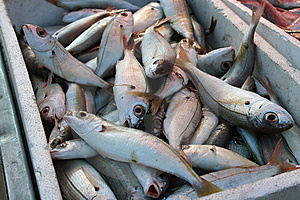 Fish Royalty Free Stock Photography - Image: 8592997