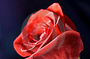 Rose Close-up Stock Photography - Image: 8593382