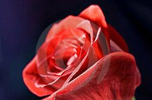 Rose Close-up Stock Photography - Image: 8593382