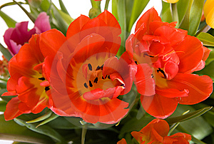 Red Tulips Royalty Free Stock Photography - Image: 8594487